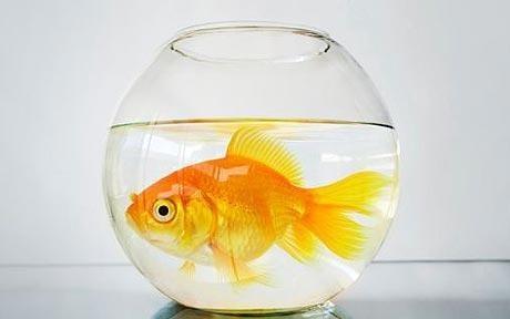goldfish_1212487c